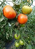 Tomates Gros plan serre 1.jpg