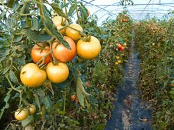 Tomates en serre.jpg