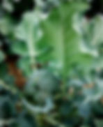 brocoli en terre.jpg