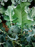 Ferme de la Chapelette,culture raisonnée de brocoli, belgique