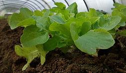 Ferme de la Chapelette, culture raisonnée de salade, belgique