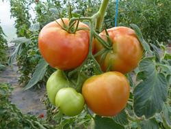 Cultures tomates serre A.JPG