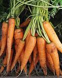 Ferme de la Chapelette, carottes fraichement récoltées