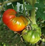 Ferme de la Chapelette, culture raisonnée de tomates, belgique