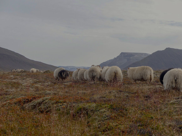Smölun 2018. Taking part in the Icelandic sheep round-up in autumn.