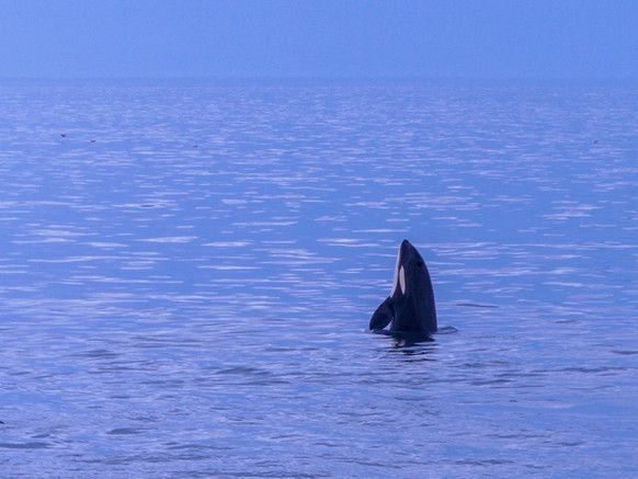 Whale watching in Vesterålen in Northern Norway. 5 tips from a whale safari guide.