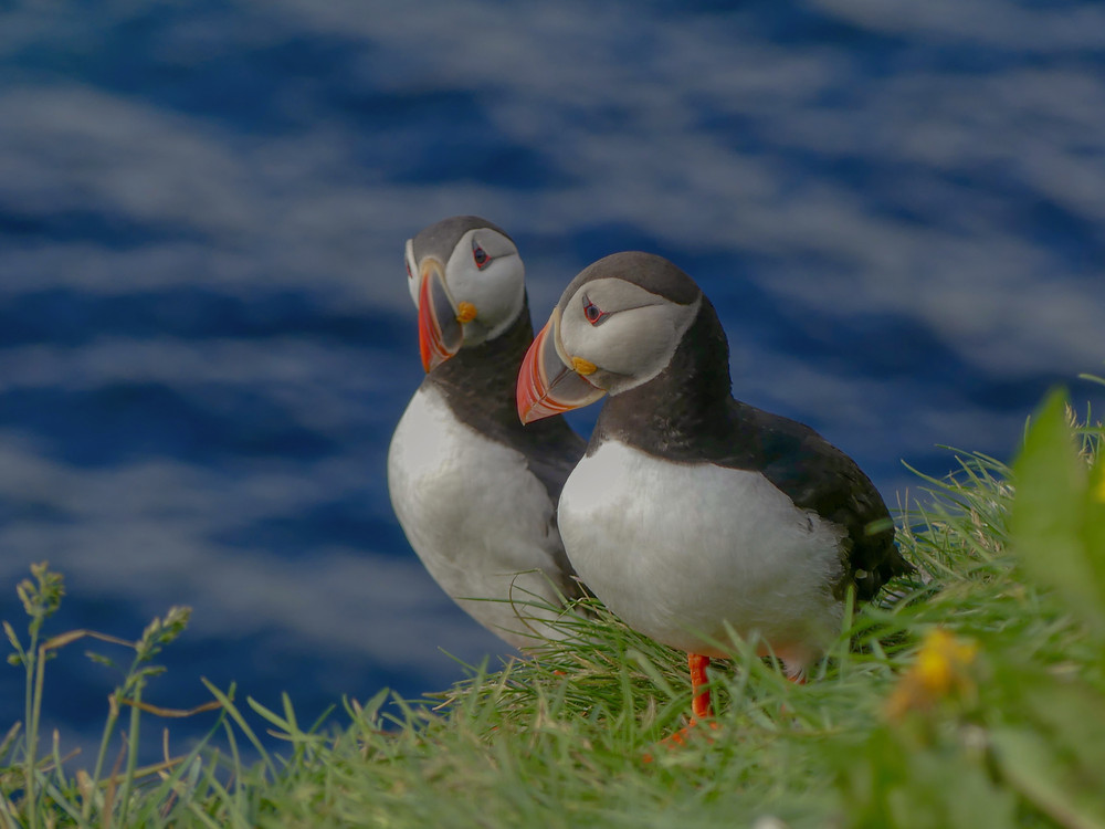 Meeting all the puffins of Grímsey Island in the Westfjords of Iceland.