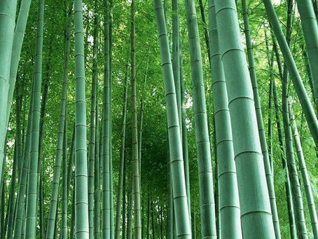 A BAMBOO: A VIABLE ALTERNATIVE TO STEEL REINFORCEMENT?