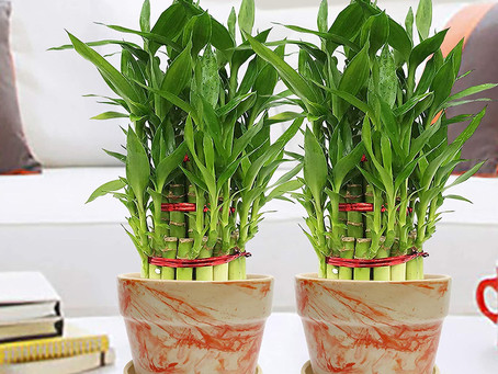 BENEFITS OF KEEPING BAMBOO PLANTS AT HOME