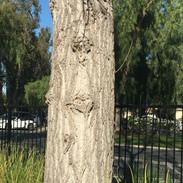 Hicks Tree Heart