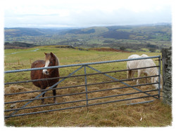 Hill side scene with ponies
