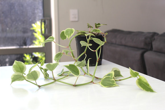 Peperomia Variegated Scandens
