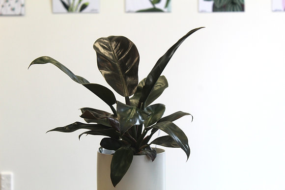 Imperial Red Philodendron