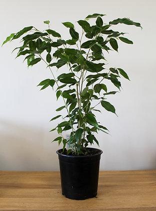 Ficus Benjamina - Large Grade