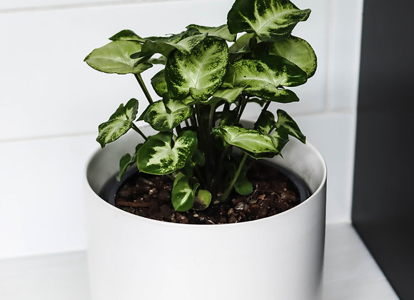 Syngonium Robusta Green