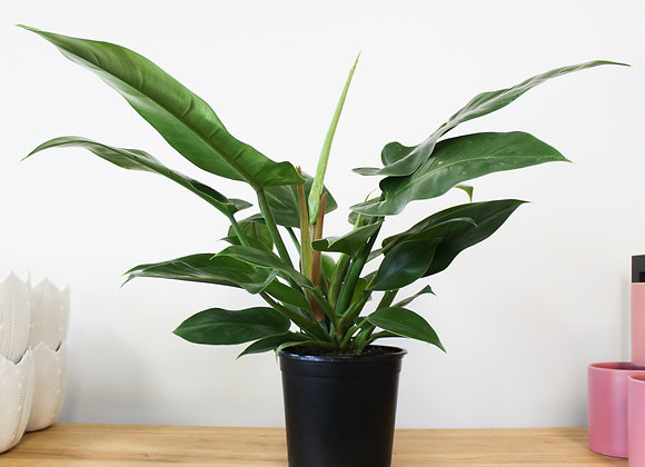 Imperial Green Philodendron - Large Grade