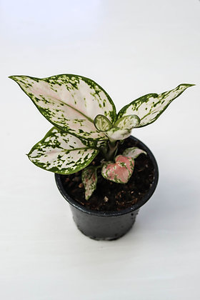 Aglaonema Lucky Red