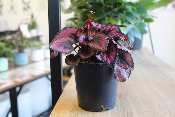 Begonia Red Kiss