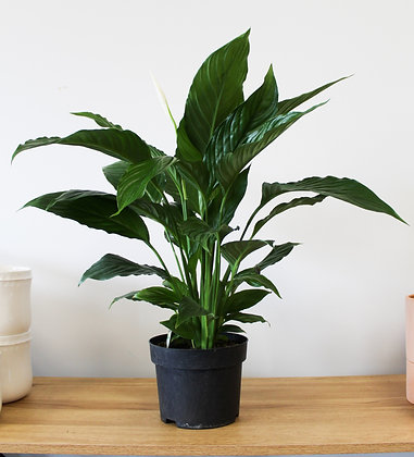 Peace Lily - Large Grade