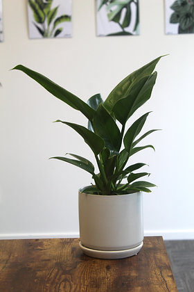 Imperial Green Philodendron