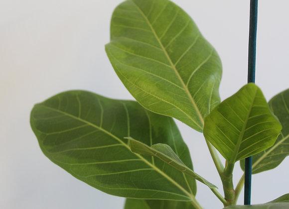 Ficus Elastica Yellow Gem