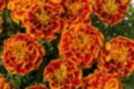 Tagetes Super Hero Orange Flame.jpg