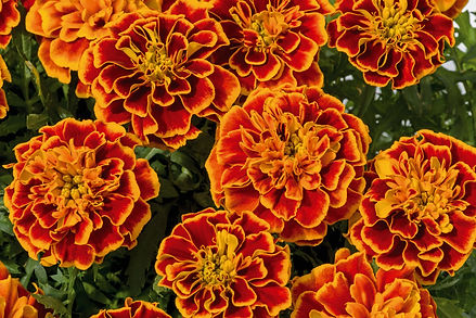 Tagetes Super Hero Orange Flame.jpg