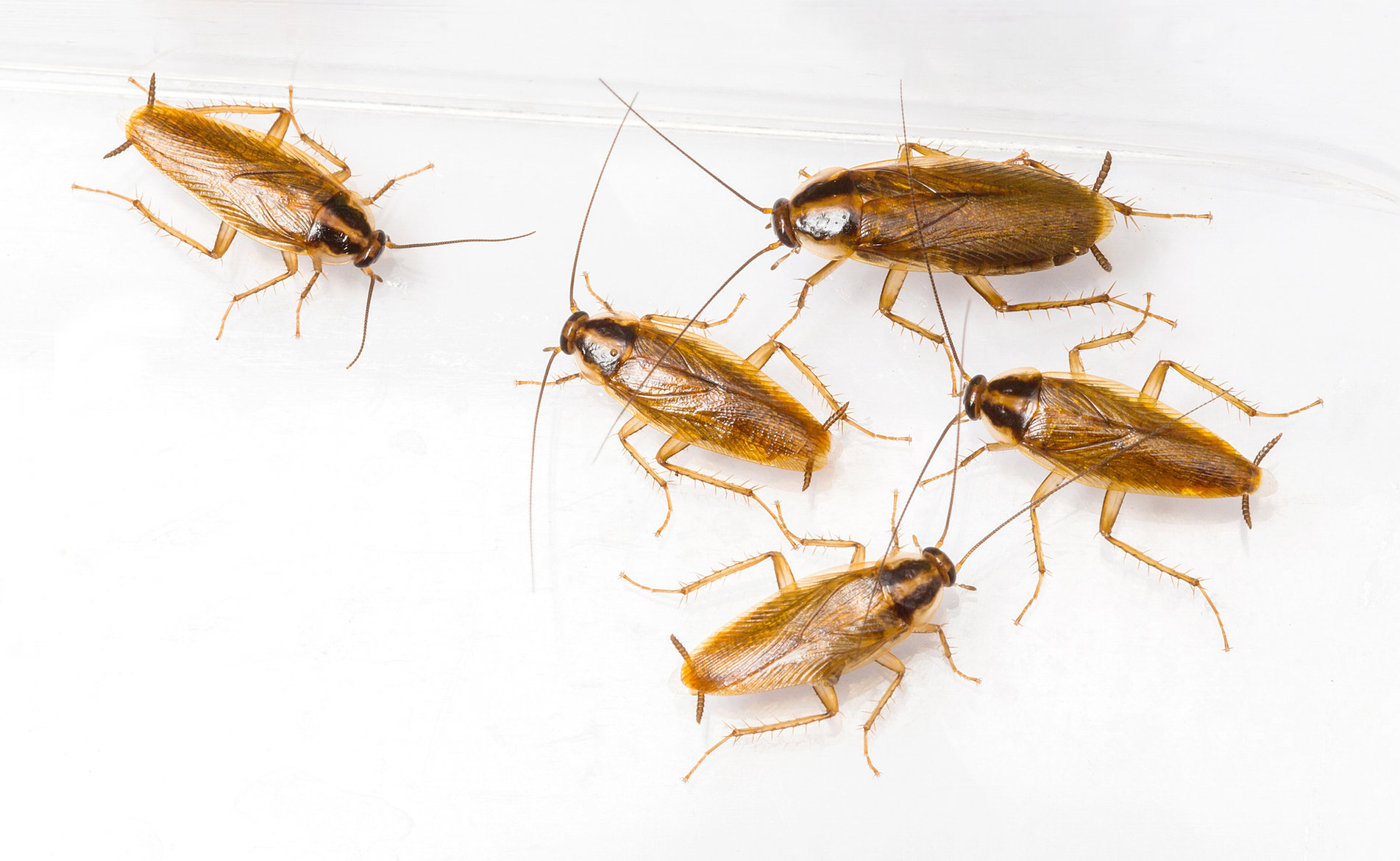 Small Crawling Bugs In Kitchen Pests And Pest Control In Sawbridgeworth Rodectcouk
