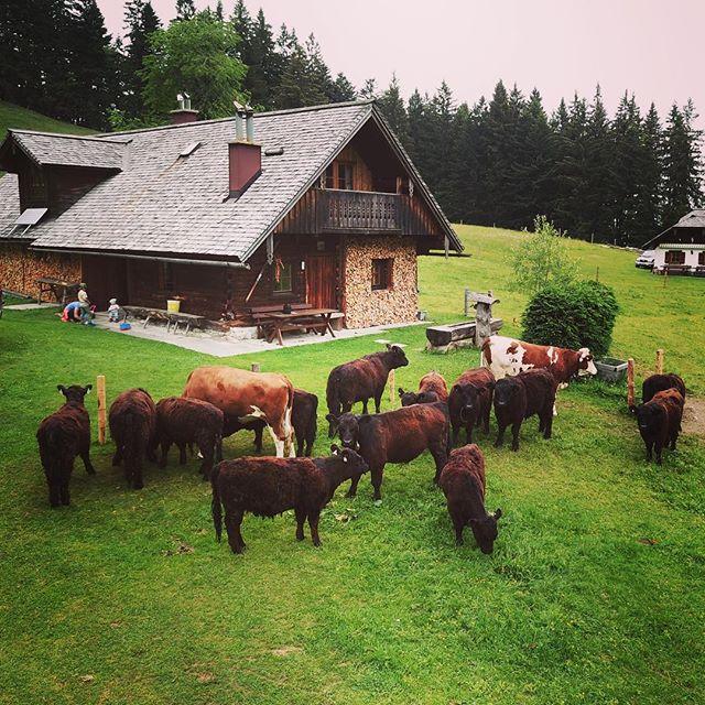 so alle Jungtiere auf der alm, #alm #galloway #bio #farmer #organic #salzburg #fuschlseeregion #fais