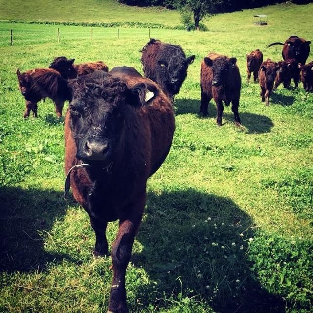 was gibts denn da_ #galloway #bio #grasfedbeef #rind #familienbetrieb #farmer #organic #salzburg #fu