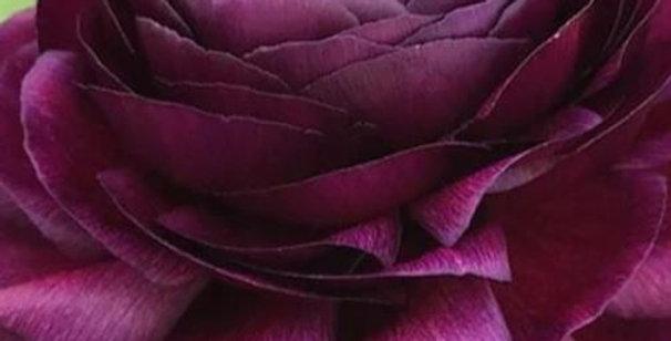 Ranunculus La Belle Chocolate