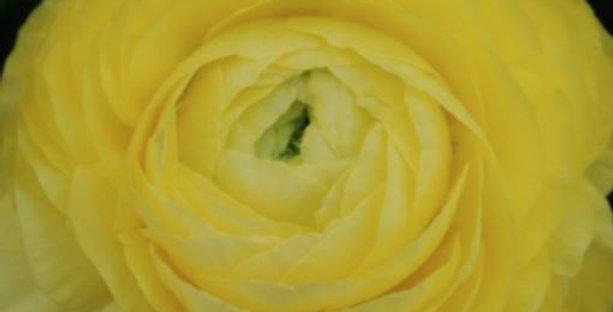 Ranunculus La Belle Lemon