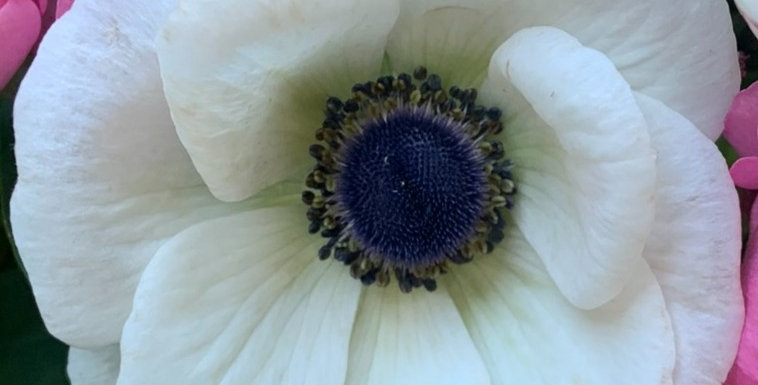 Anemone Galilee White
