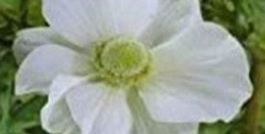 Anemone Fullstar Albino