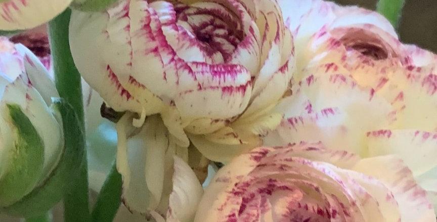 Ranunculus La Belle White Picotee