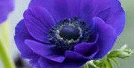 Anemone Jerusalem Blue