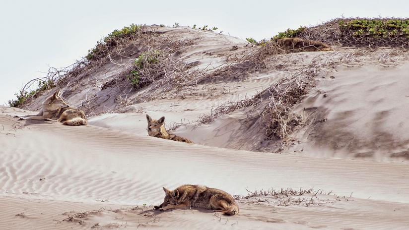 Coyotes, Tendencia