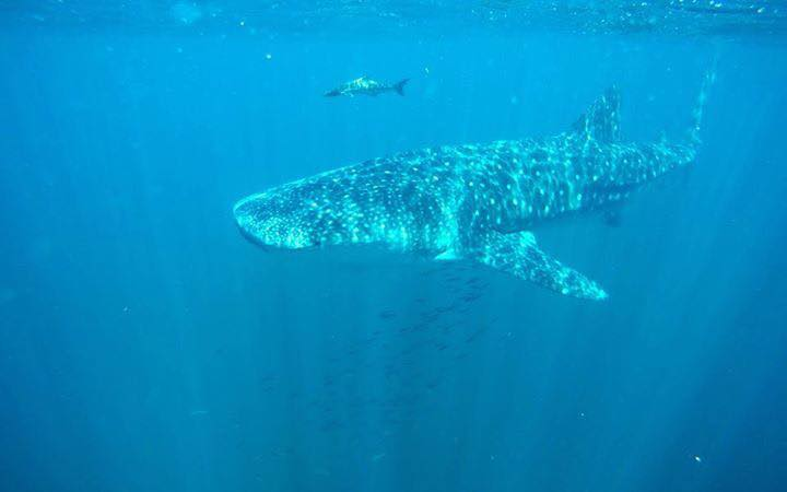 whale shark1