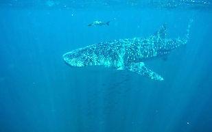 whale shark1.jpg