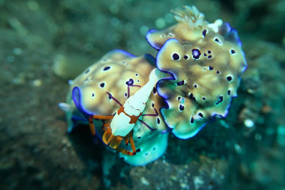crab and nidibranch