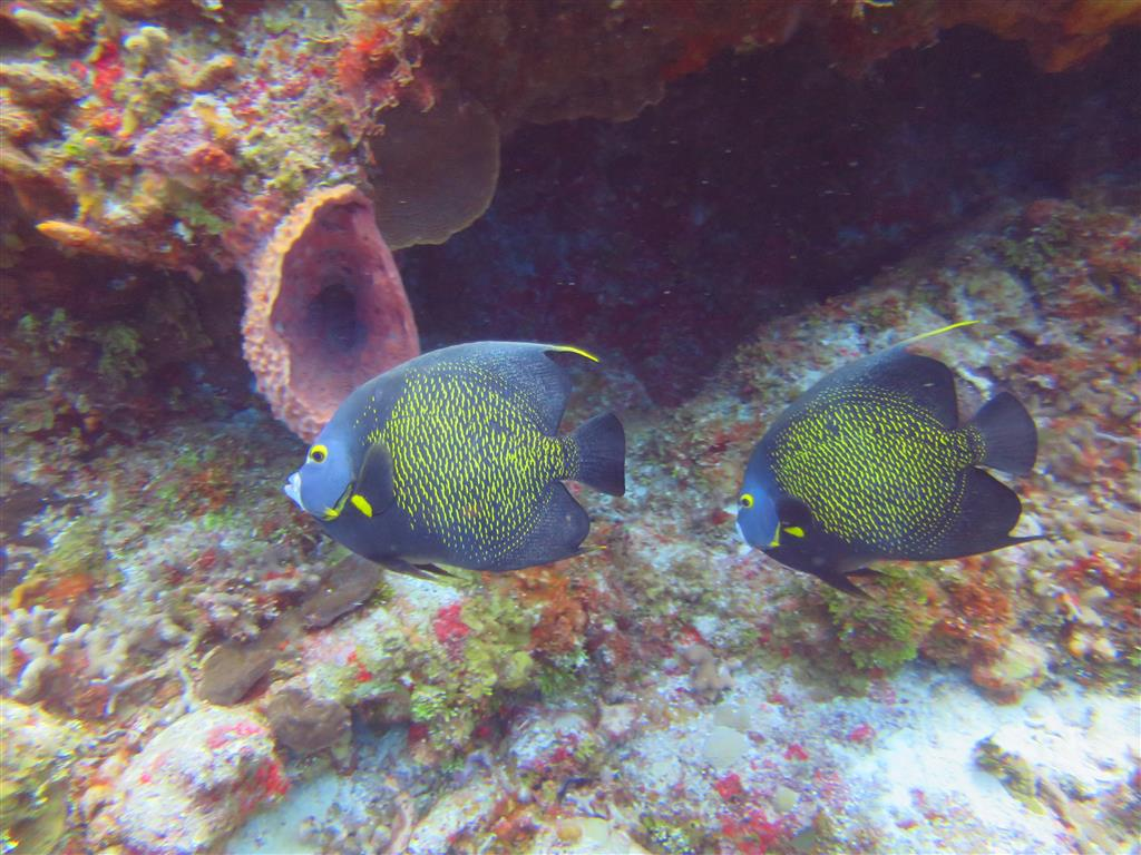 2 french angel fish