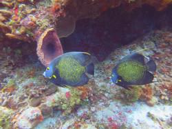 2 french angel fish