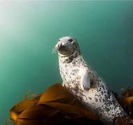 Animal seal (Medium).jpg