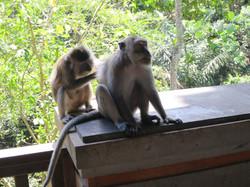 ubud monkey2