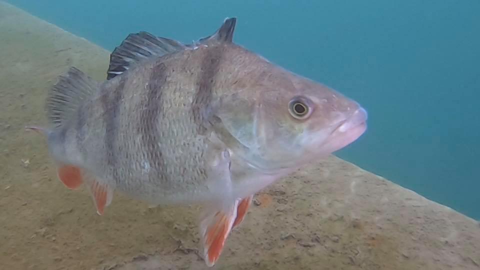 gildy fish