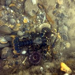 lobster (Medium)