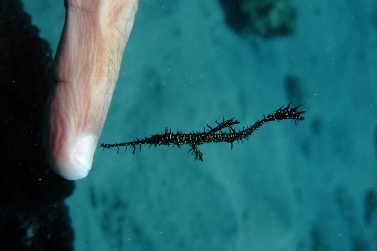 Fav animal Ornate ghostpipefish  Lembeh