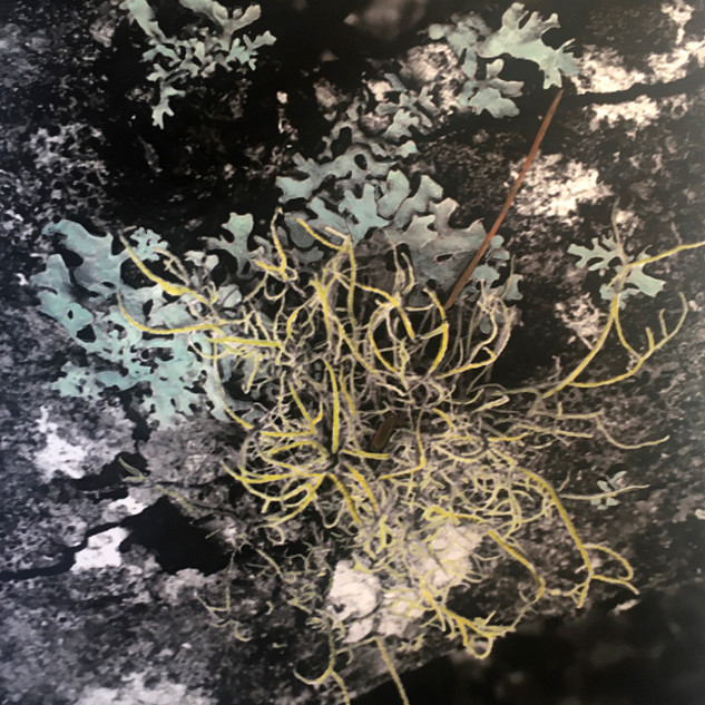 Lichen at Acadia (No. 2)