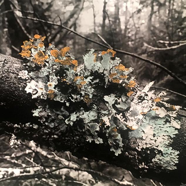 Lichen at Acadia