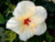 Hibiscus Flower Cropped.jpg
